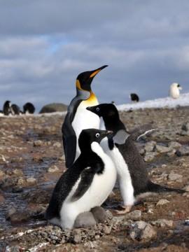 Pingwiny z Antarktydy