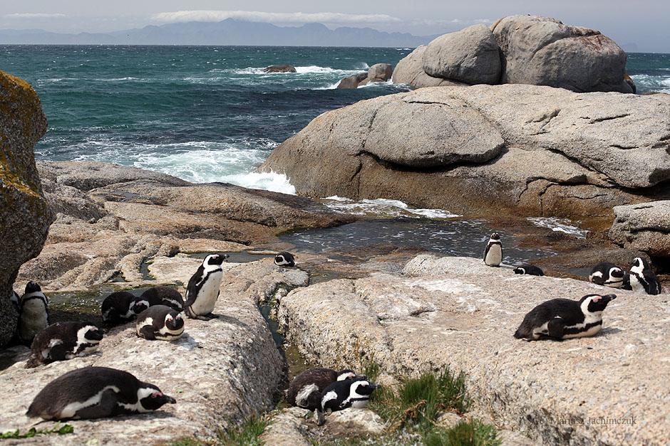 Pingwiny w RPA