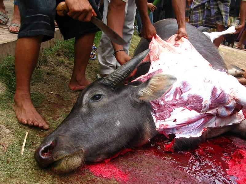 W Indonezji na pogrzebie zabija się bawoły