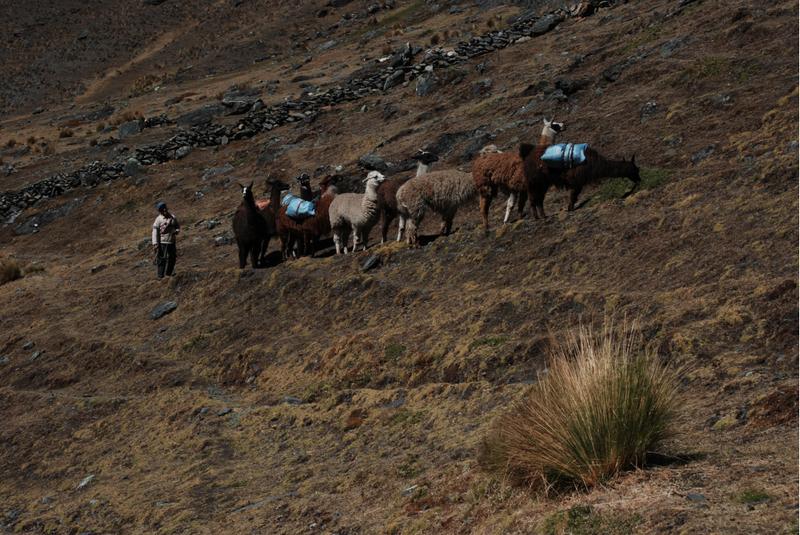 Lamy w boliwijskich górach