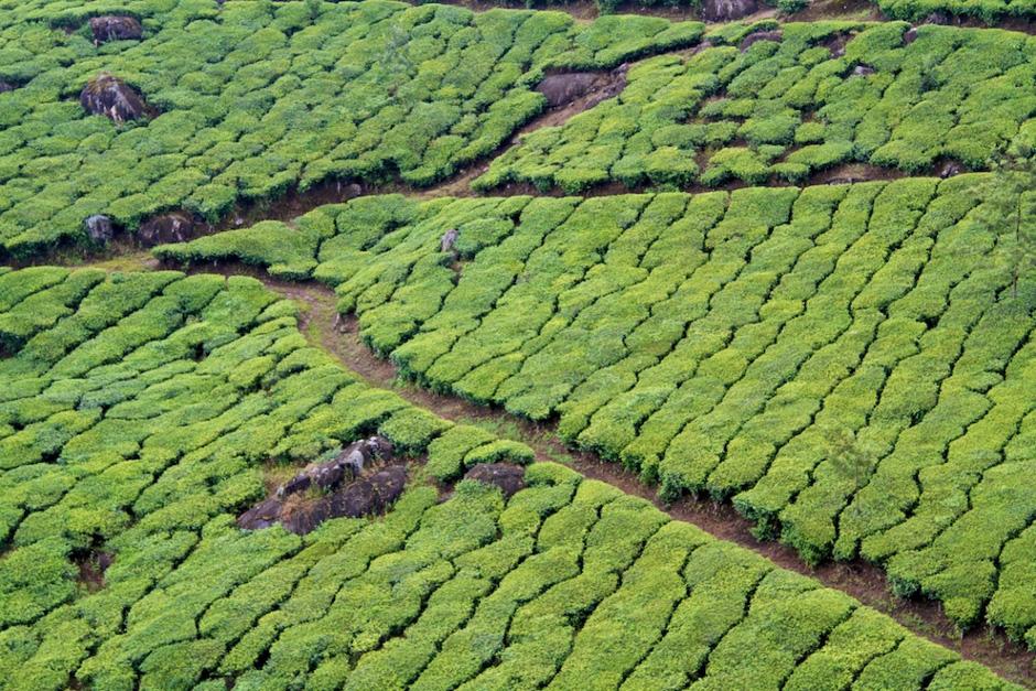 Krzewy herbaty