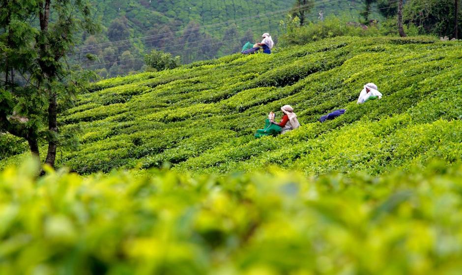 Zbieranie indyjskiej herbaty