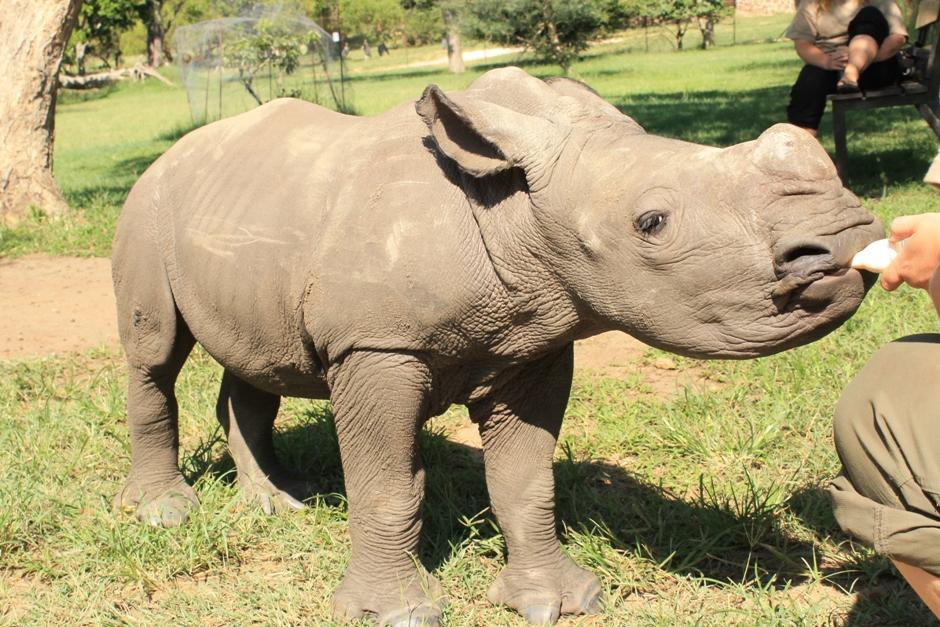 Młody nosorożec pijący mleko z butelki