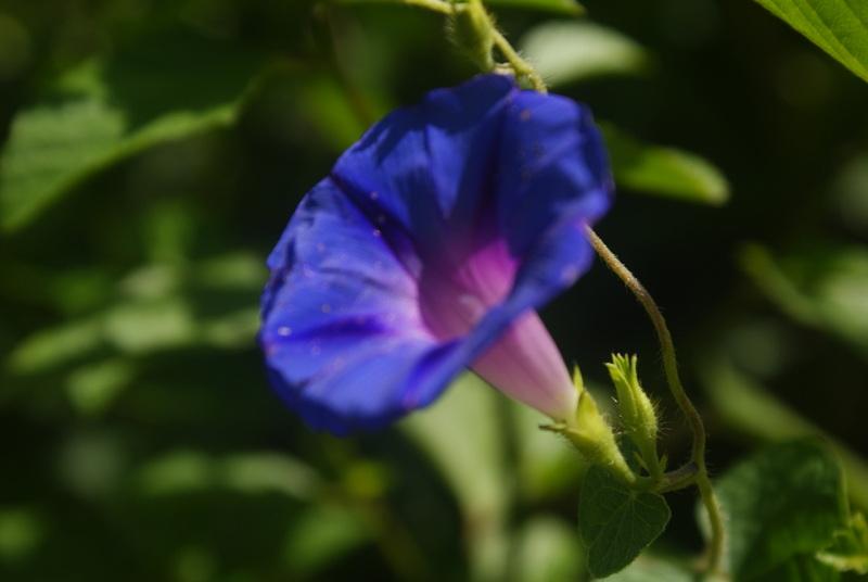 Contra-Bruxas-Azul występuje na wyspach Santo Antão, São Vicente, San Nicolau oraz Santiago. (Fot. Emilia Wojciechowska)