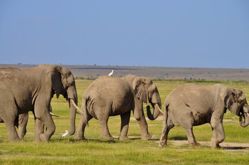 Słonie w Kenii