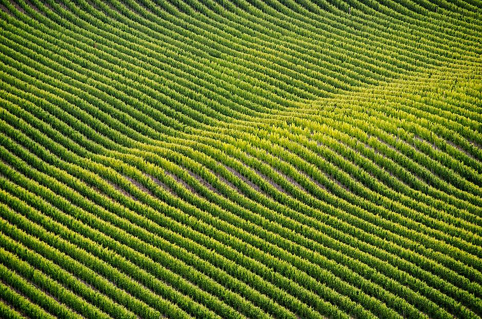 Jedna z setek plantacji winogron