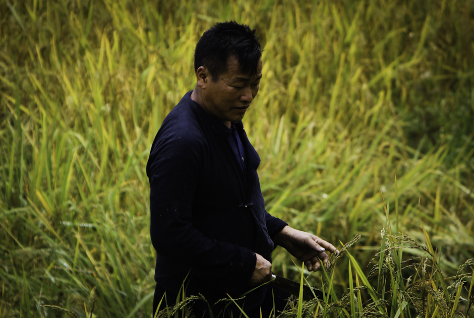 Mężczyzna sprawdza czy ryż nadaje się już do zbiorów