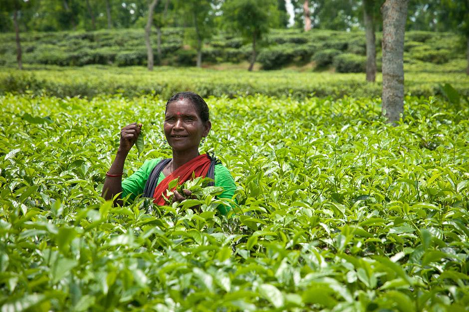 Uprawa herbaty w Bangladeszu - foto