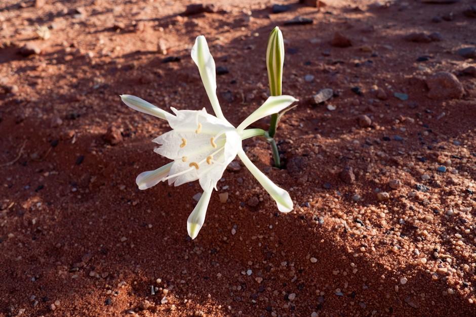 Kwiaty na Wadi Rum
