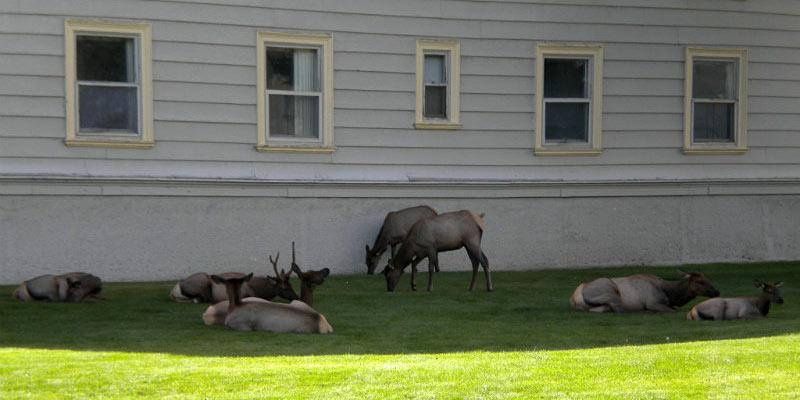 Jelenie z parku Yellowstone - foto