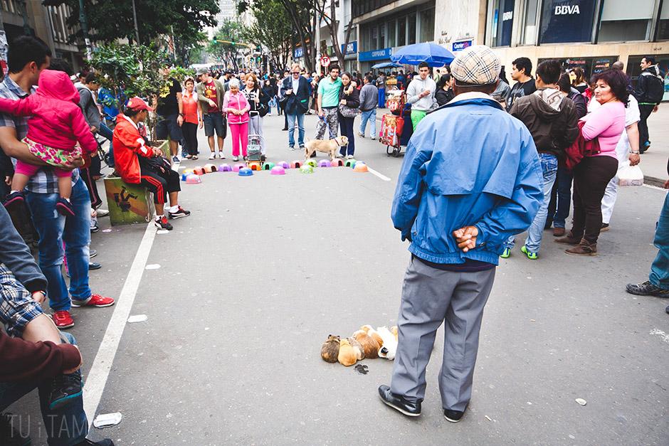 Wyścigi świnek morskich, Bogota