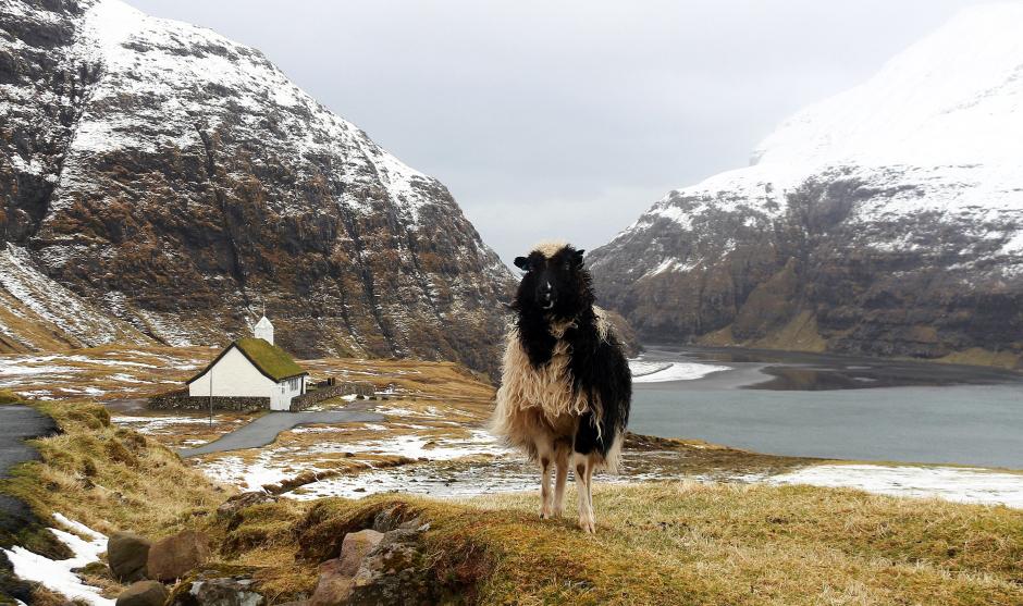 Owca z Wysp Owczych - foto
