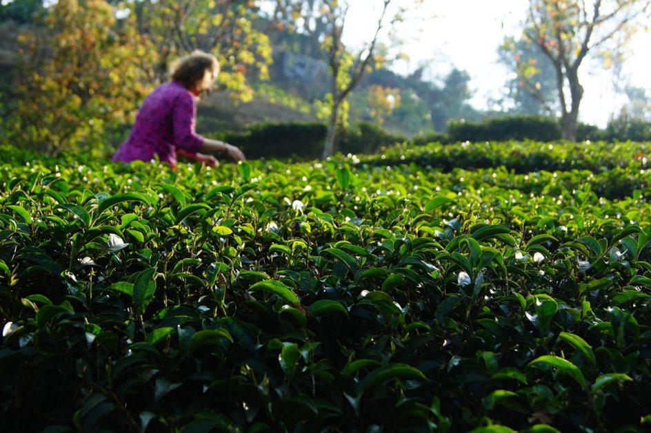 Praca na polu herbaty