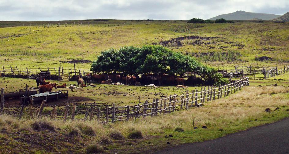 Mieszkańcy Rapa Nui hodują konie, zdjęcia, foto