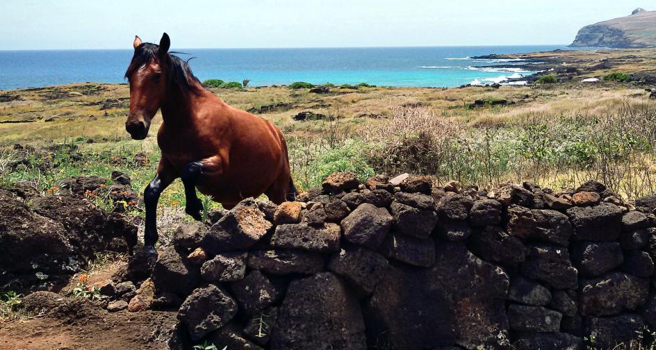 Półdziki koń na Wyspie Wielkanocnej należącej do Chile