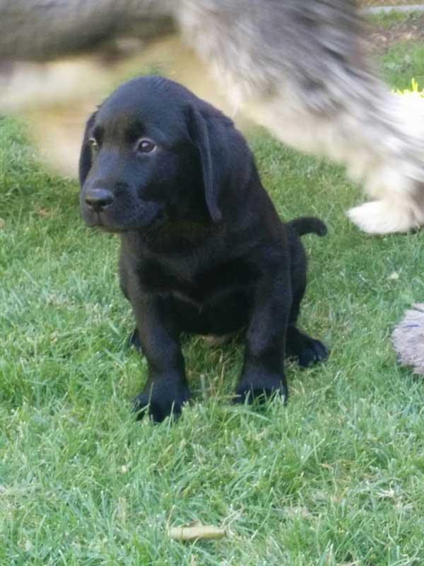 Inicio  Perro Labrador Retreiver