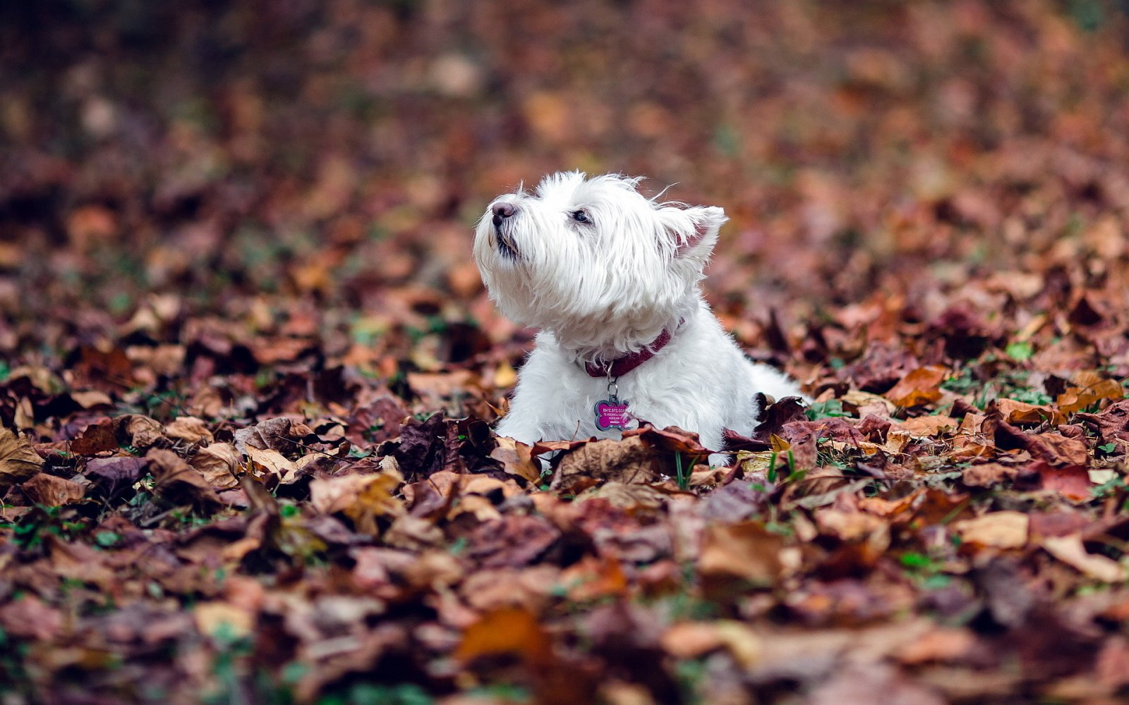 Fall Wallpaper For Desktop 1920x1080 Fotos Del West Highland White Terrier Westie