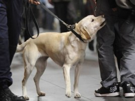 "alt=""perros de drogas prohibidos en eventos Australia"""