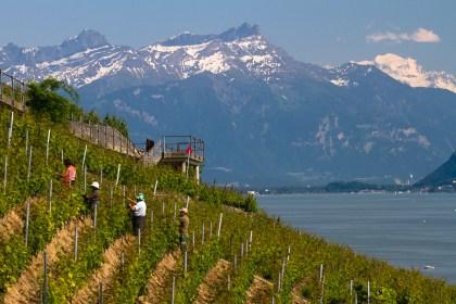 Trabajando en un viñedo de las terrazas de Lavaux, Suiza