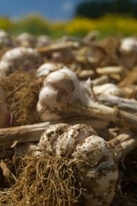 Cosecha de ajos en The Garlic Farm, Newchurch, Isla de Wight, Reino Unido