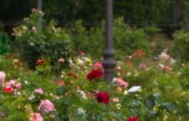 Rosaleda del Parque del Oeste, Madrid, España