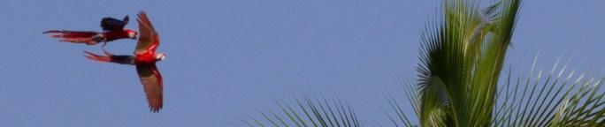 Guacamayas bandera sobrevolando la Isla de Coiba, Panamá