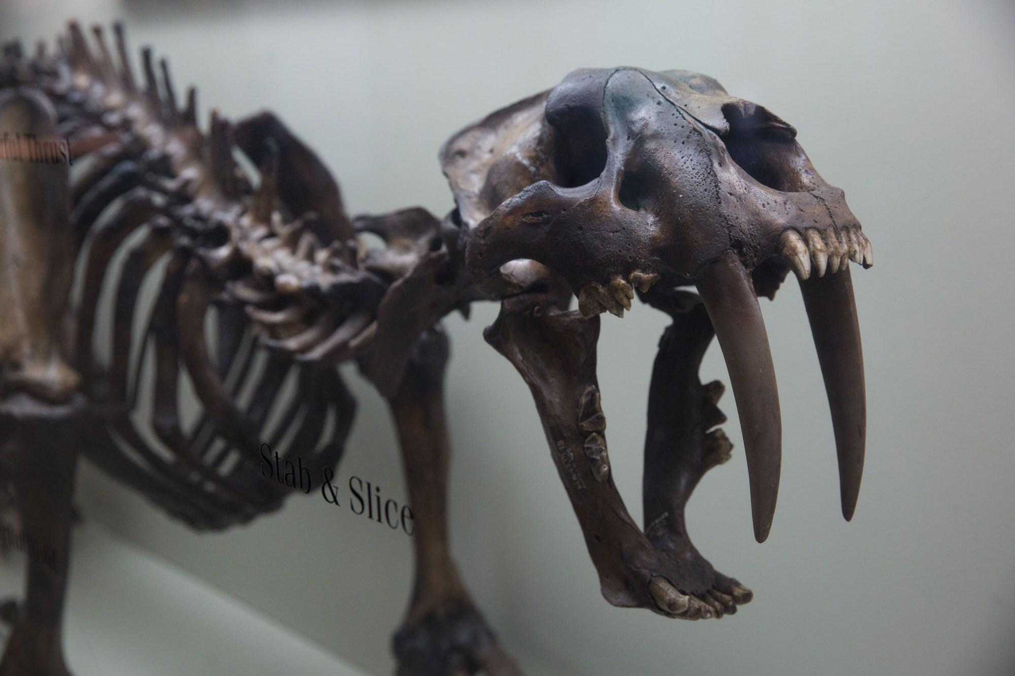 Un fósil de un tigre dientes de sable en el museo George C. Page, La Brea Tar Pits, Los Ángeles, EE.UU.