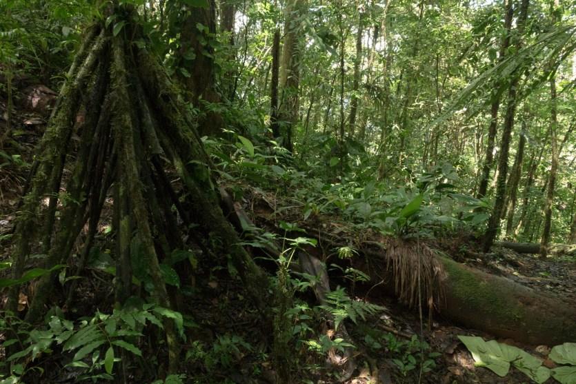 Sendero Zamora en el parque nacional Altos de Campana, Panamá