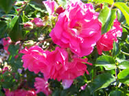 Buy Rosa Pink Flower Carpet From Perryhill Nurseries By