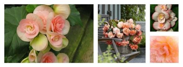 Collage begonia