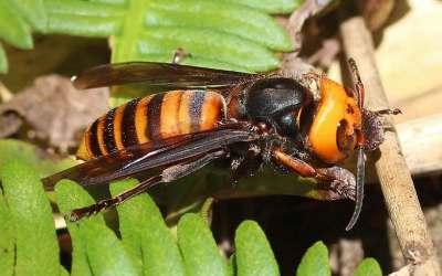 زنبورهای کشنده در کانادا