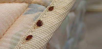 Bed bugs  SiOWfa13 Science in Our World Certainty and