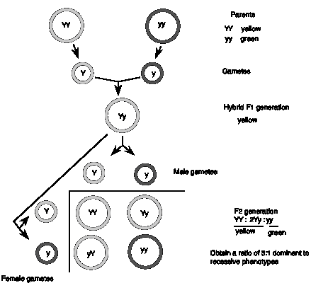 1.2: Genes are the Units of Heredity: Mendel's Laws