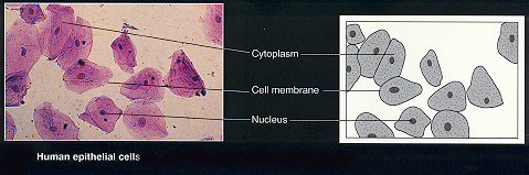 Human Epithelial Cells May Be Scraped From Inside The