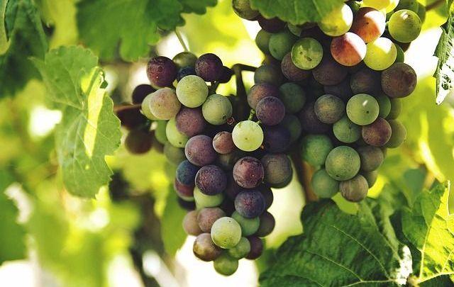 La focaccia con l'uva, dolce simbolo dell'autunno