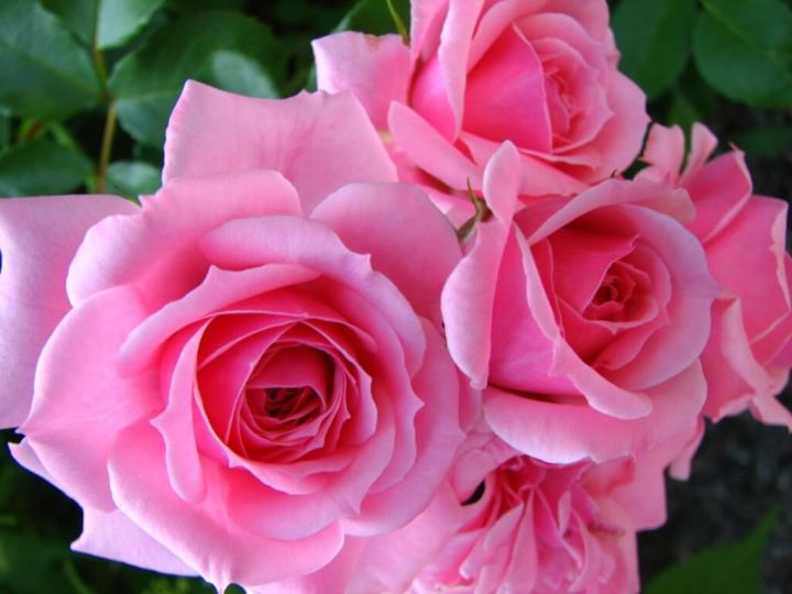 La rosa, simbolo del mese di maggio