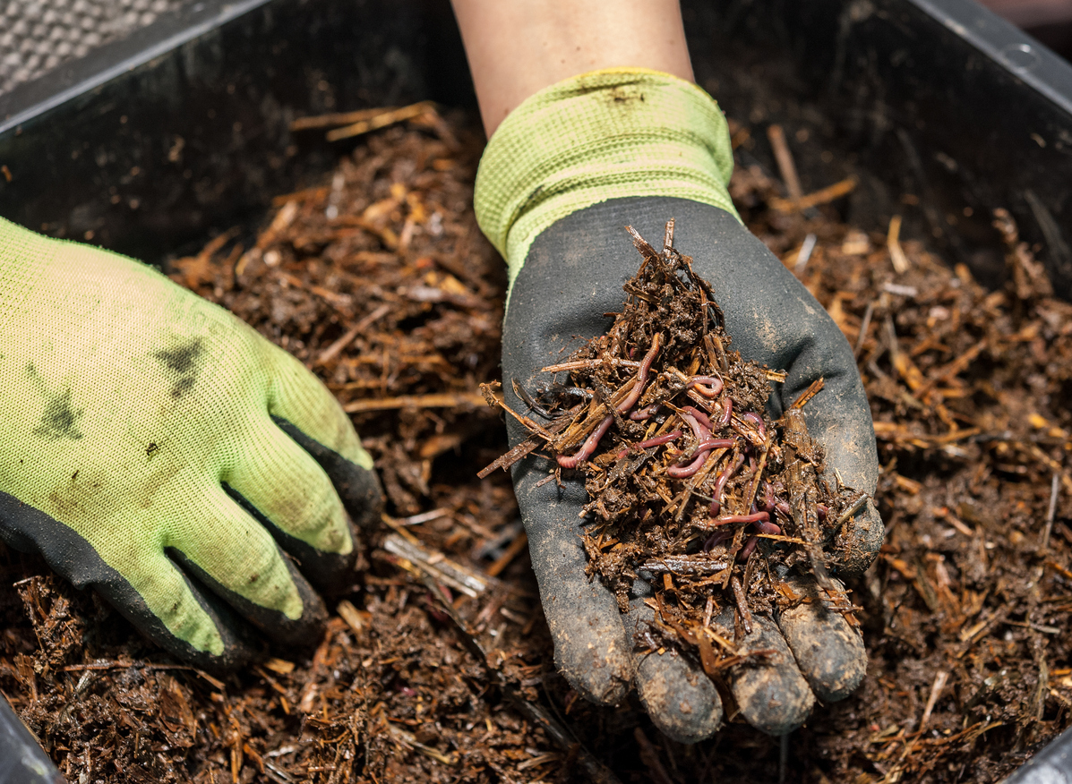 The worm composting is a great fertilizer.