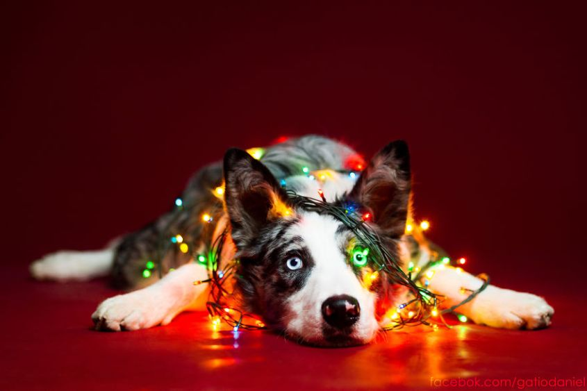 holiday dog stress_st louis dog trainer