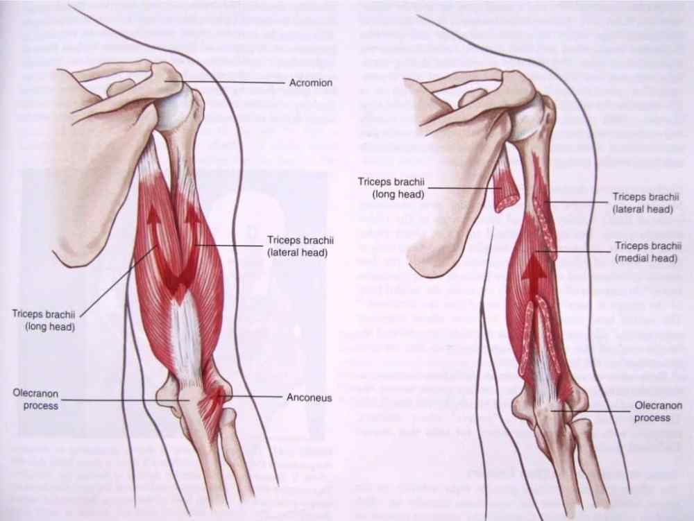Diagram Of Tricep Jcm Free Full Text Quadrilateral Space Syndrome