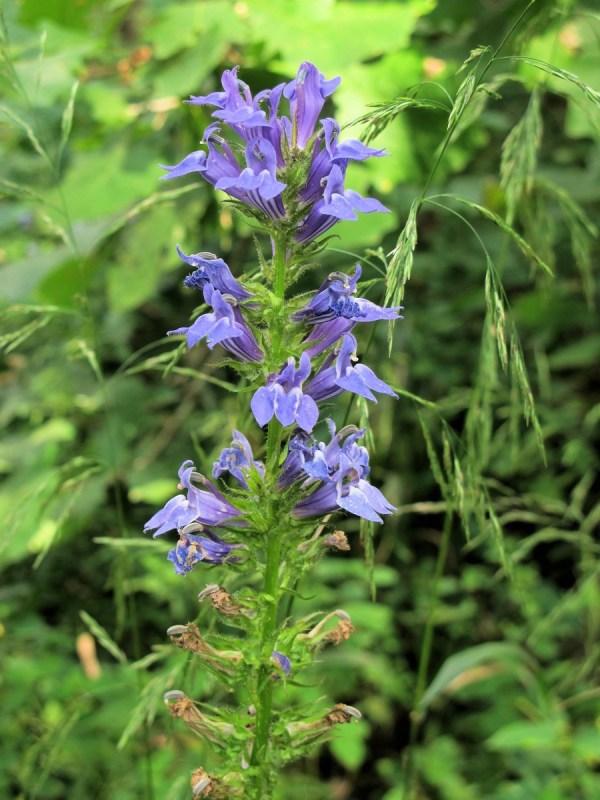 201209021318039 Great Blue Lobelia Lobelia siphilitica