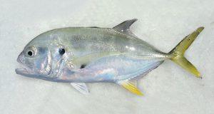 Caranx Hippos nombres de peces e imagenes