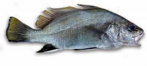 Corvina Nigra nombres de peces
