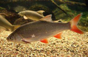 Leuciscus Idus nombres de peces