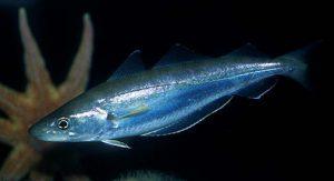 Merluccius Bilinearis