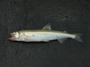 Osmerus Eperlanus