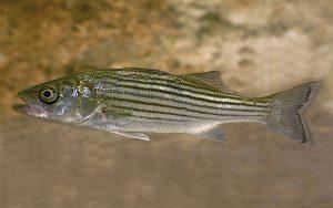 Roccus Saxatilis