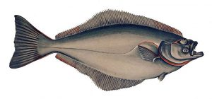 hipogloso, paltus o halibut