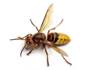 Pest Control In Swindon And Wiltshire - Professional Pest Control Solutions Wasp Control Swindon