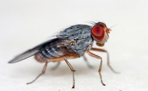fruitfly2