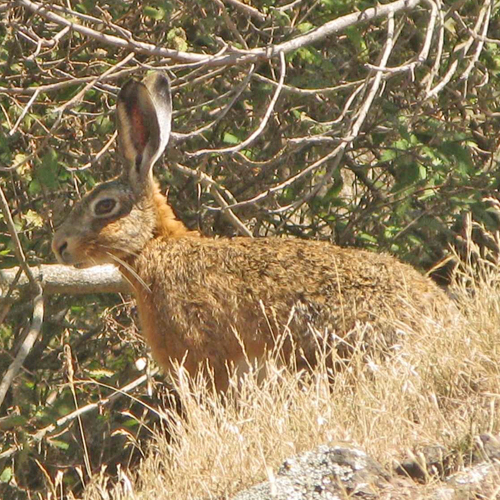 brown hare pest detective